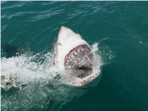 image requin blanc