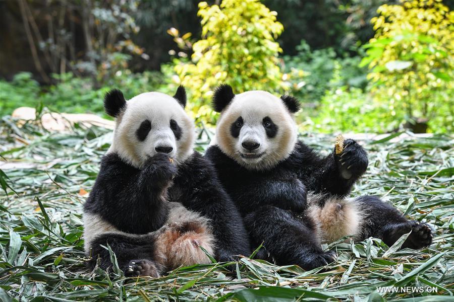 guangzhou les pandas g ants jumeaux bient t sevr s. Black Bedroom Furniture Sets. Home Design Ideas