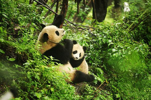 des pandas amoureux captur s par une cam ra infrarouge dans le nord ouest de la chine. Black Bedroom Furniture Sets. Home Design Ideas